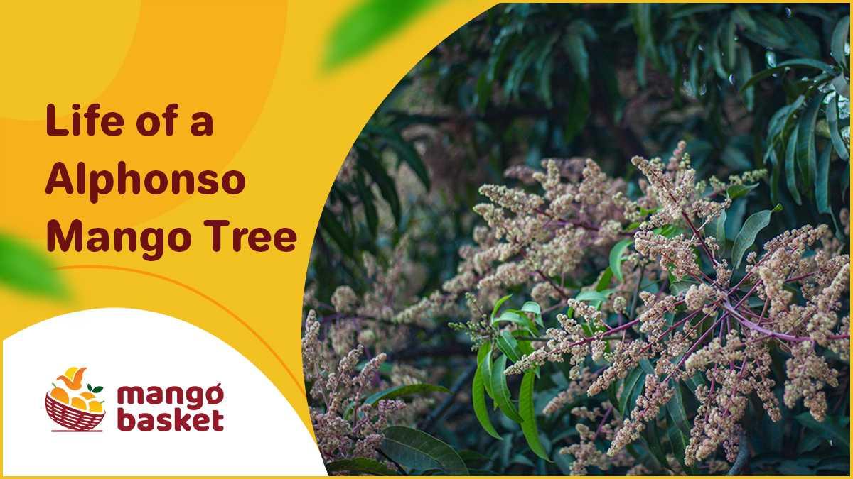 Alphonso Mango Tree