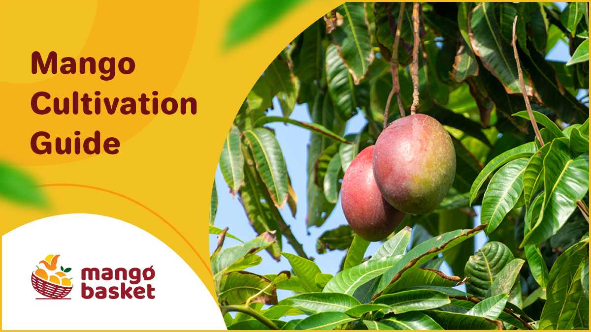 Mango Cultivation Guide