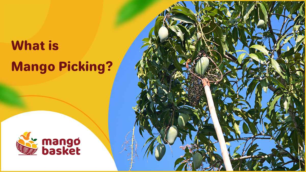 mango picking