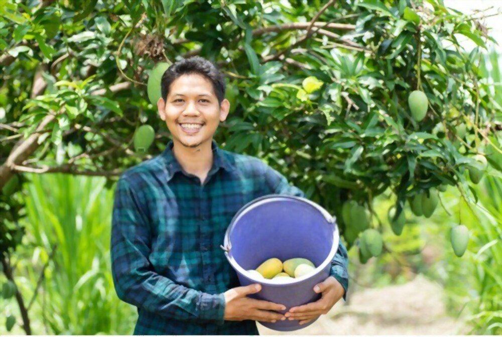 harvesting mango from a tree
