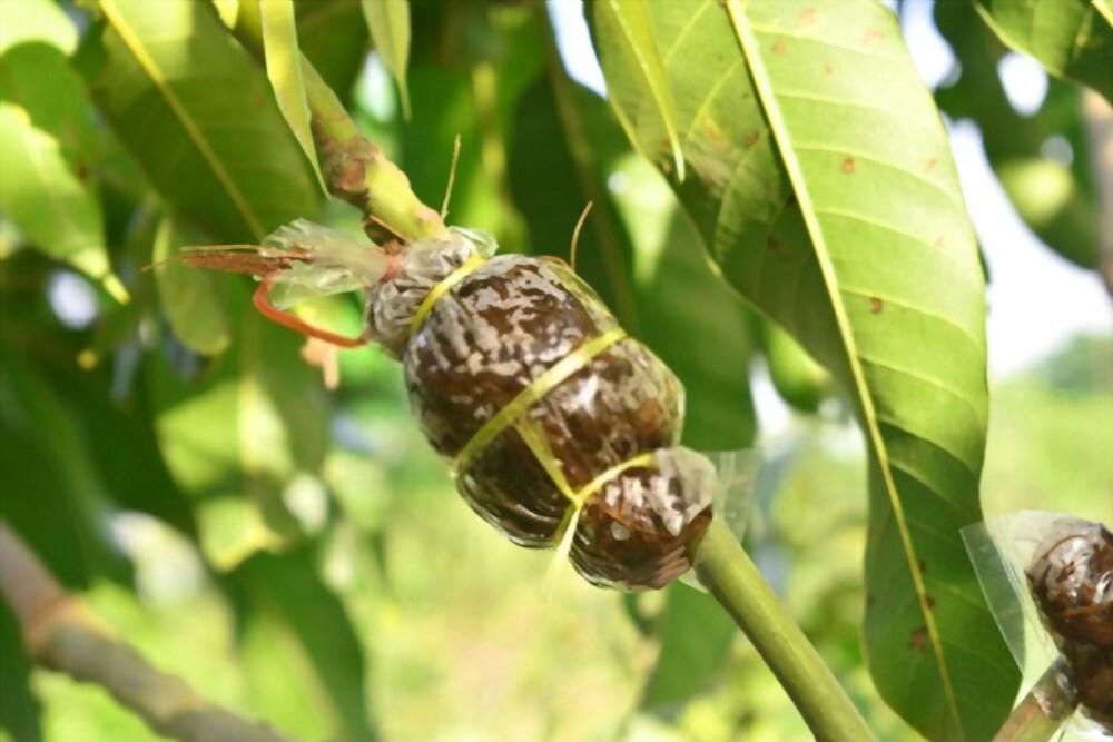 mango grafting methods